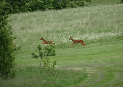 Playful bucks on the 1st hole